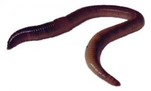 Dew worm.