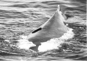 Whale, bird and other animal radio or satellite tags (1992-1993 developed for Habit Research Inc.)